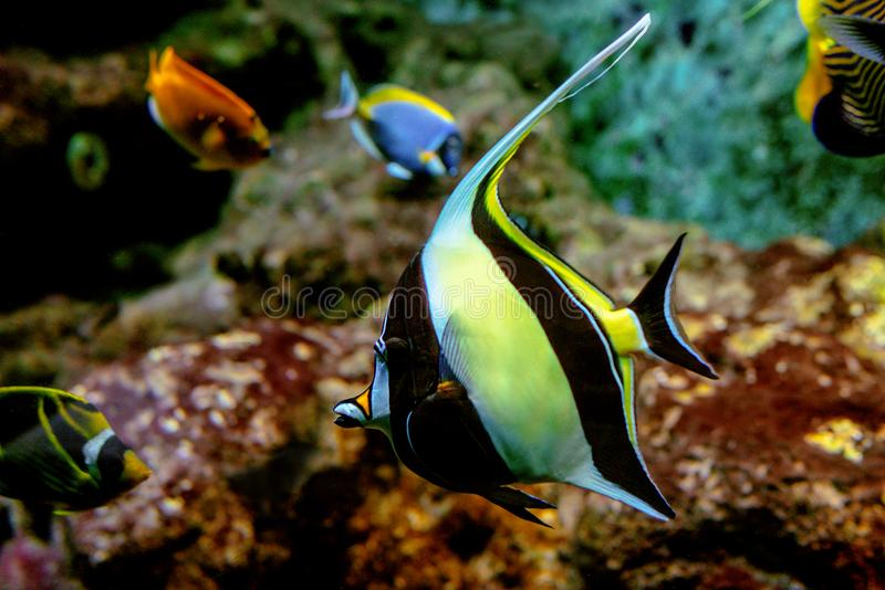 Colorful tropical fishes and coralls underwater. In the aquarium in the zoo royalty free stock images