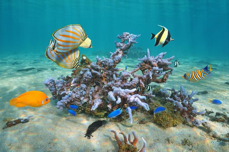 Colorful tropical fishes with coral Pacific ocean stock images