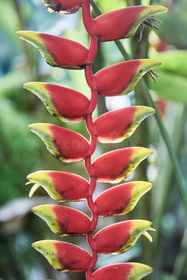 Colorful tropical flowers. Heliconia bihai Red palulu flower. Red color. stock images