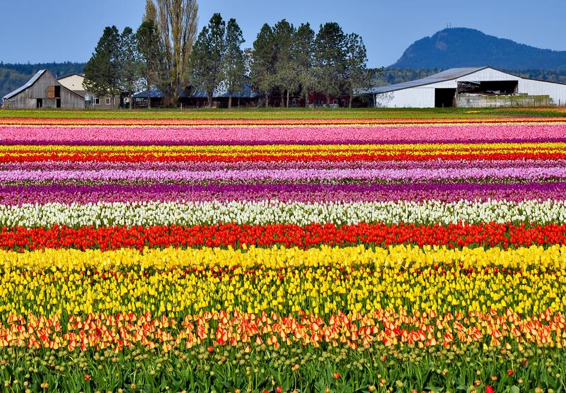 Colorful Tulip Farm Stock Images
