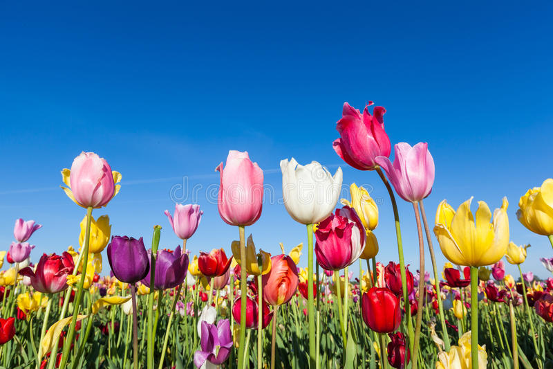 Colorful tulip farm and blue sky royalty free stock images