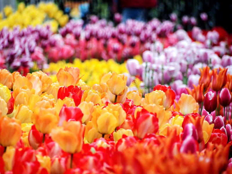 Colorful tulip royalty free stock image