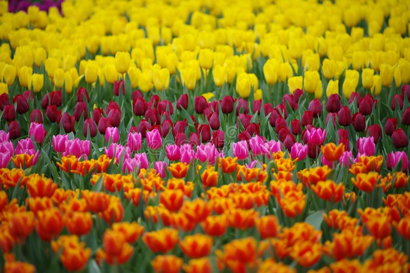 Colorful Tulip Field in spring background or pattern royalty free stock image