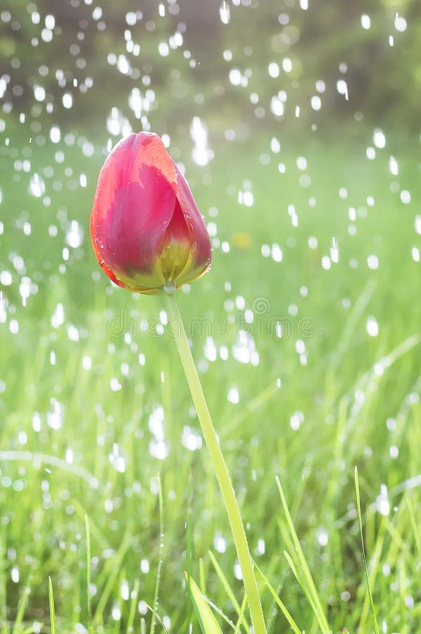 Colorful tulip flower close up and rain drops, rain falling on tulip flower royalty free stock images