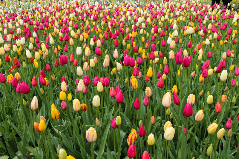 Colorful Tulip stock image