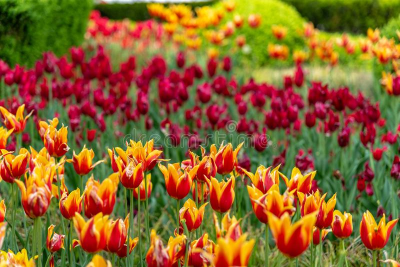 Colorful Tulip gardens in Krakow and the Main Market Square is very popular with tourists. Krakow, Lesser Poland / Poland - 05/11/2019. Colorful Tulip gardens in royalty free stock image