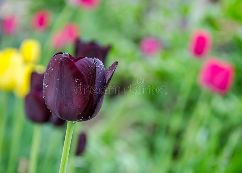 Close-up of dark purple tulip flower with blurred background, spring wallpaper, selective focus - tulips with water drops, rain. Colorful tulips, close-up photo stock photo