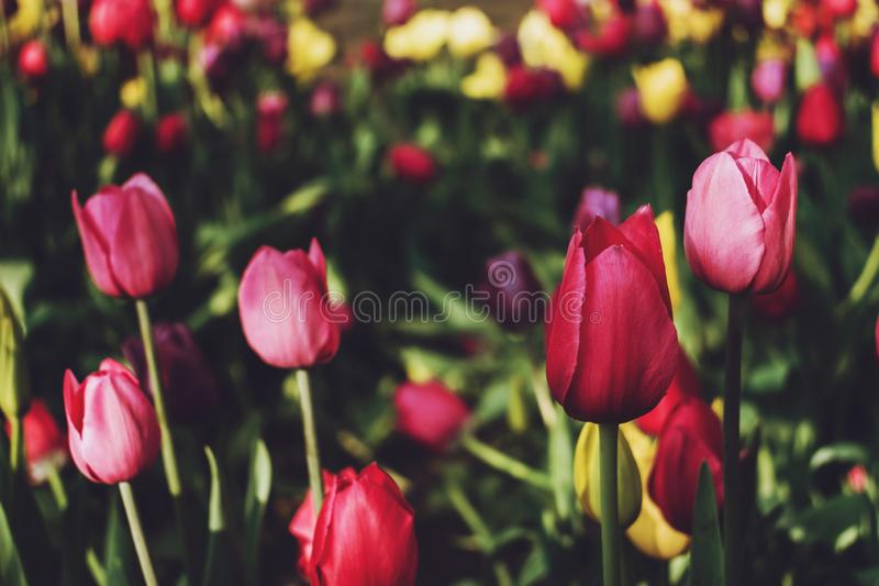 Colorful tulips in the flower garden. Flowers multicolored tulips flowering on public park stock image