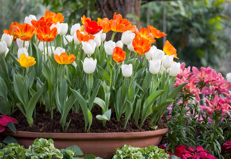 Colorful tulips in a flower pot stock image