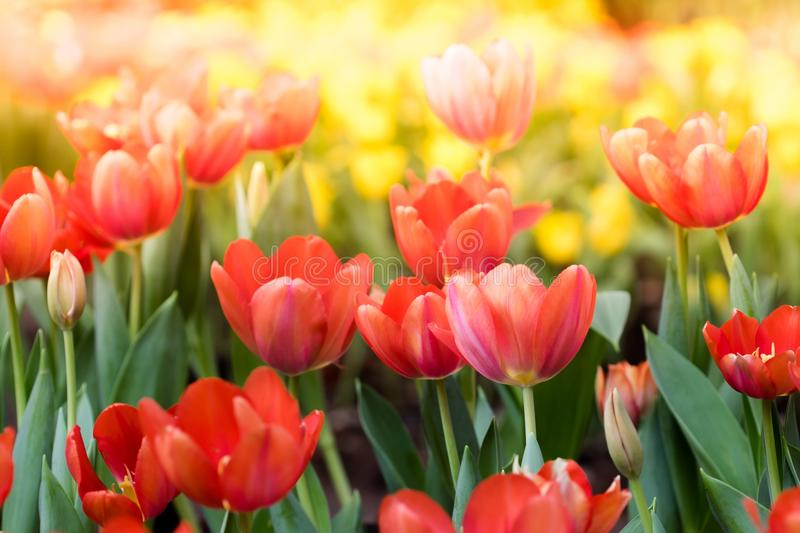 Colorful tulips flowers in the garden. Beautiful bouquet of tuli stock photo