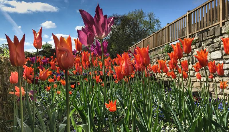 Colorful tulips in a garden with a brick wall and wooden fence stock image