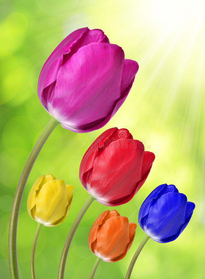 Download Colorful tulips stock image. Image of beauty, elegance - 39239977