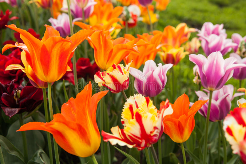 Colorful tulips on green blur background. stock images