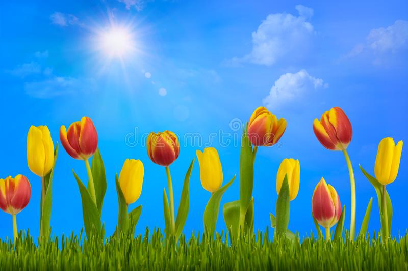 colorful tulips on green lawn stock illustration