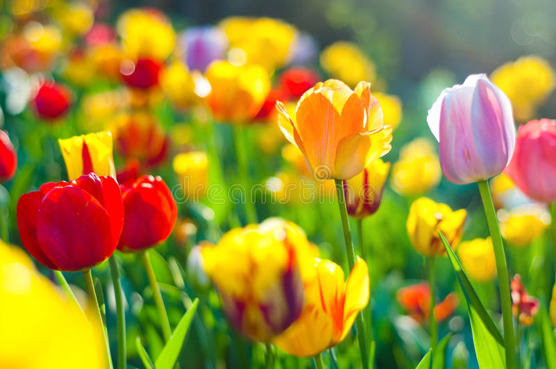 Colorful tulips in a green meadow royalty free stock image