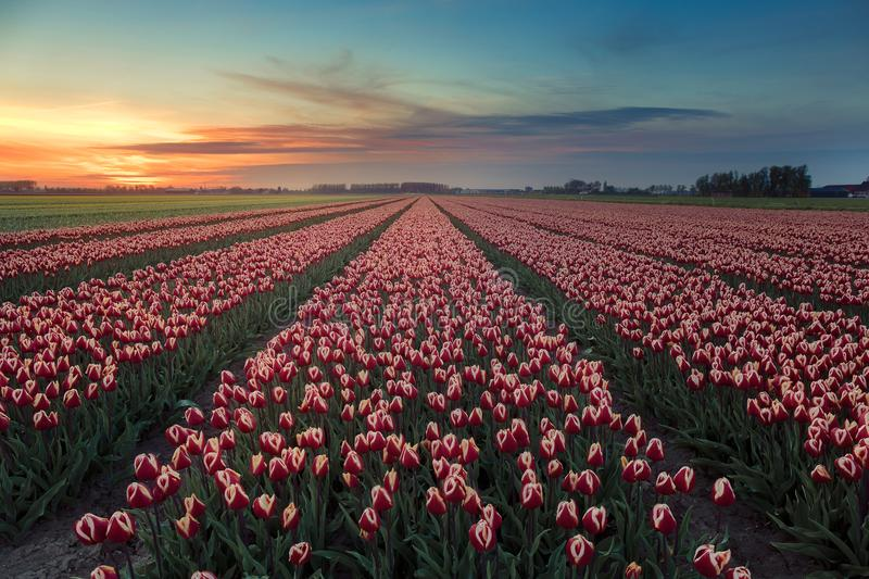 Colorful tulips from Holland with a beautiful sunset stock images
