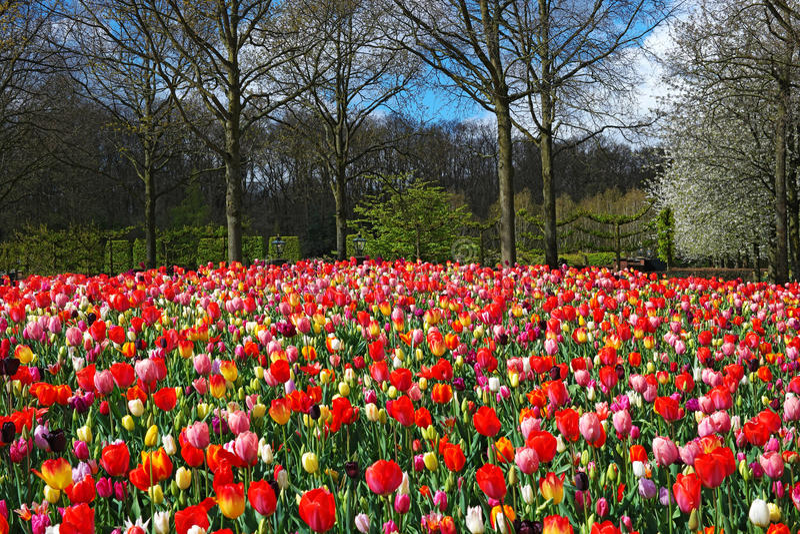Colorful tulips in Keukenhof garden, Netherlands royalty free stock photography