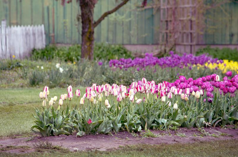 Colorful tulips in a pretty farm yard garden royalty free stock image
