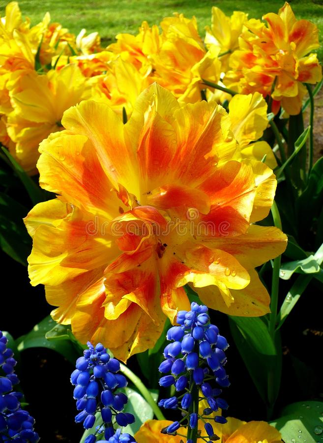 Colorful Tulips stock photo