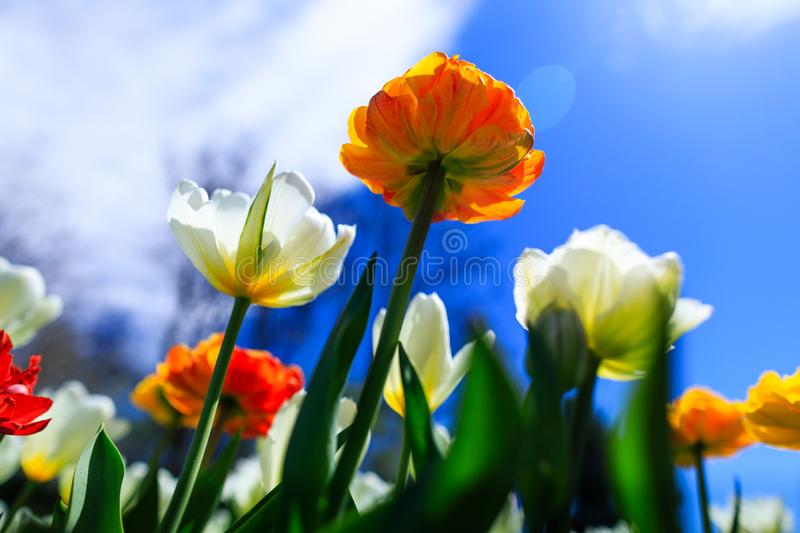 Colorful tulips on a spring sunny day. Beautiful orange tulip growing in the summer garden. Spring background with bouquet of stock images