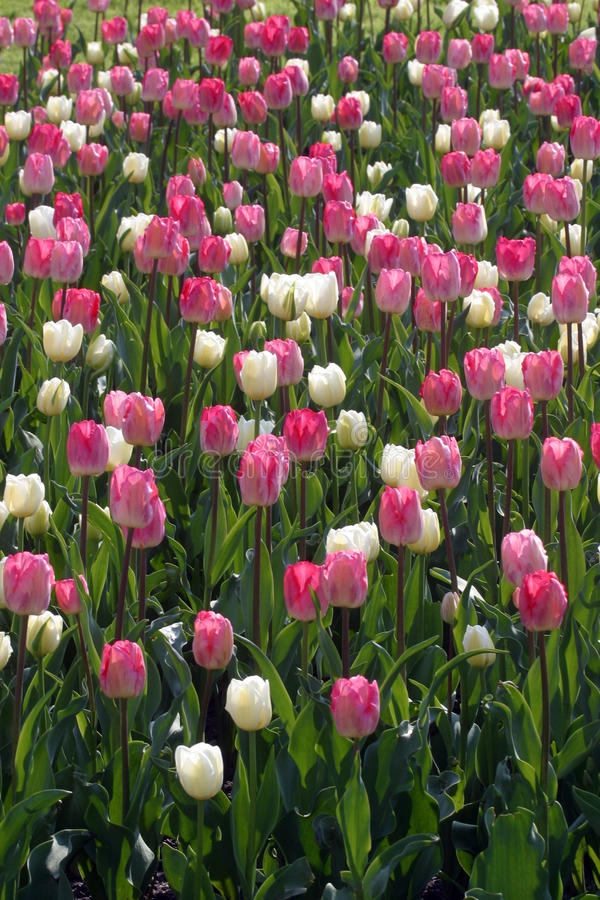 Colorful tulips in spring. Tulip flowers in the garden stock photos