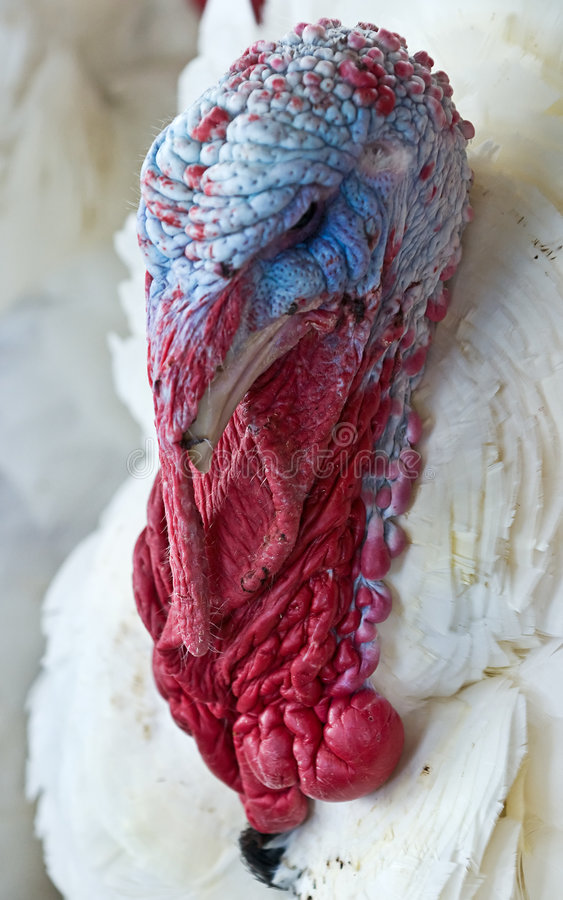 Colorful turkey. Close up of a colorful turkey royalty free stock photos