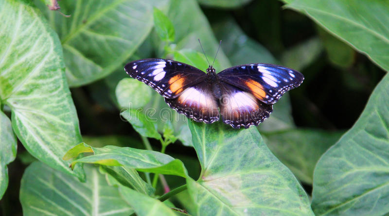 Download Butterfly stock image. Image of pink, butterfly, eggfly - 30190165
