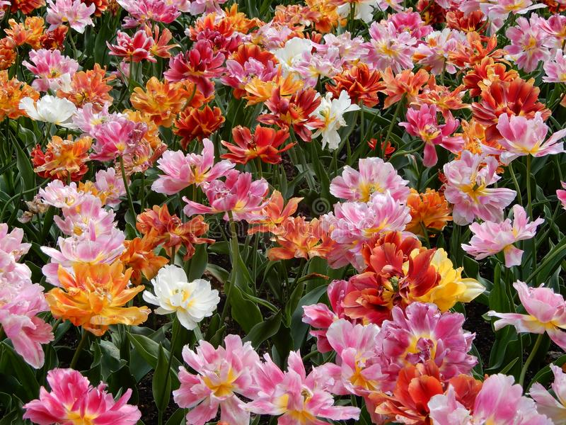 A colorful and variegate kinds of tulips flowers - close up photo. stock image