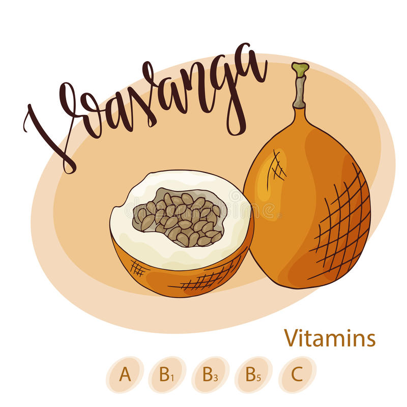 Colorful vector illustration. Food design with fruit. Hand drawn sketch of voavanga. Organic fresh product for card or. Poster design for cafe, market stock illustration