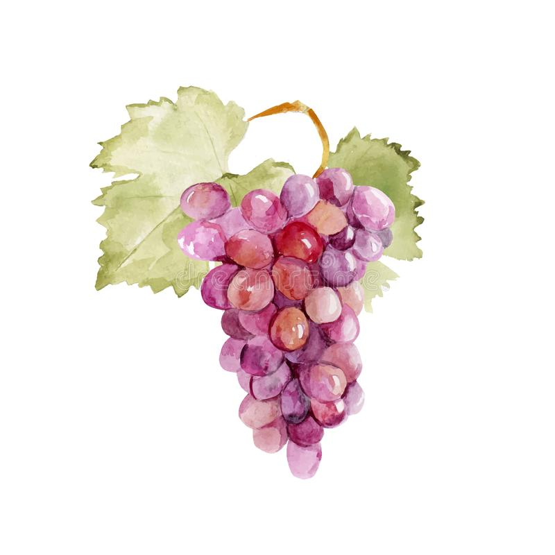 Colorful vector watercolor illustration of ripe pink grape with green leaves isolated on white background. Bunch of fresh grape stock illustration
