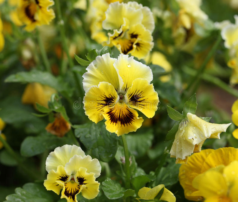 Colorful and vibrant pansy flowers royalty free stock image