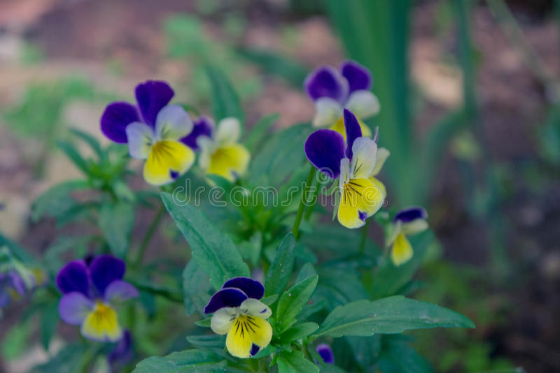 Colorful and vibrant pansy flowers royalty free stock photos