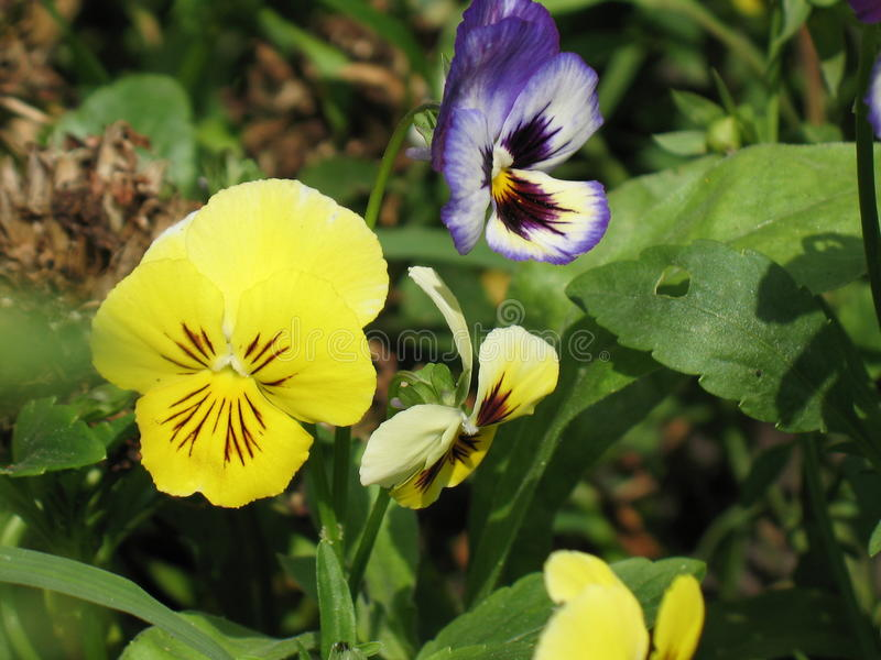 Colorful and vibrant pansy flowers royalty free stock images