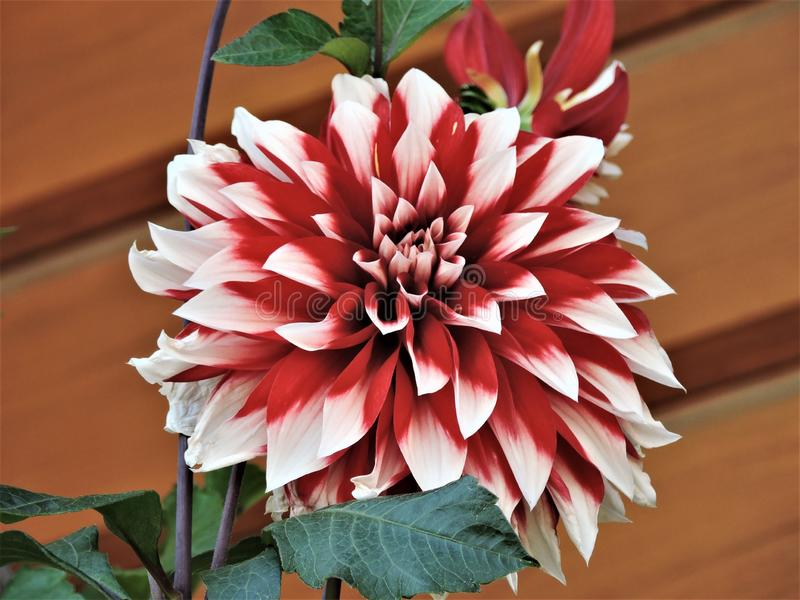 Colorful view of white and red dahlia flower stock photo