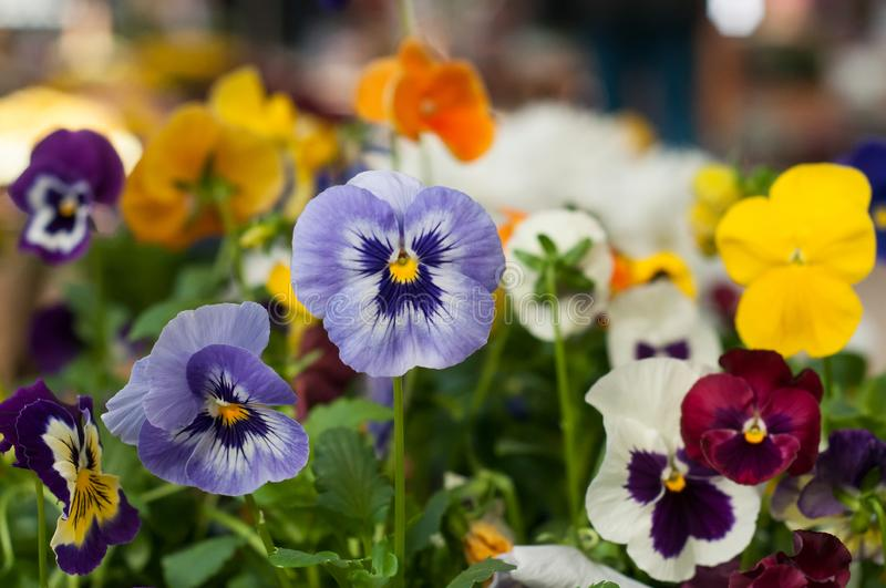 Colorful viola in gardening store. Closeup of colorful viola in gardening store royalty free stock images