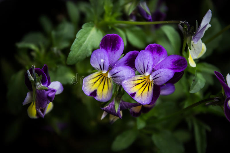 Colorful violas. Close up shot on green background royalty free stock photos