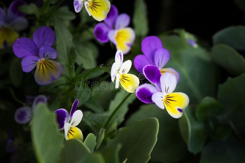 Colorful violas royalty free stock images
