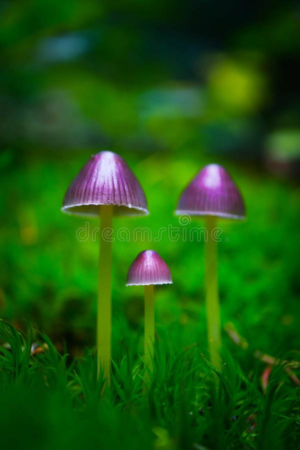 Colorful violet magic fairy mushrooms in the green moss, macro. Poisoned dangerous group of purple mushrooms at the forest background, closeup royalty free stock images