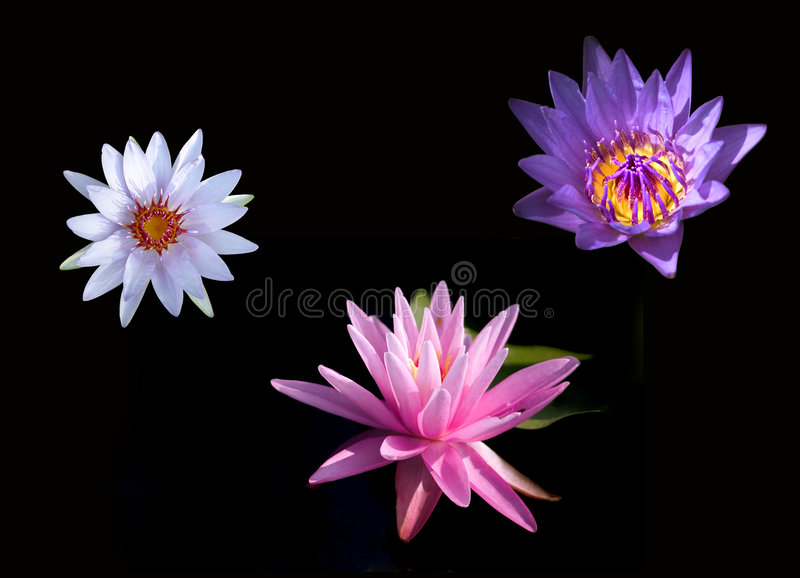 Colorful water lilies stock image
