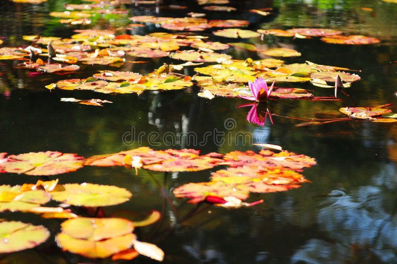 Colorful water lilies stock photography