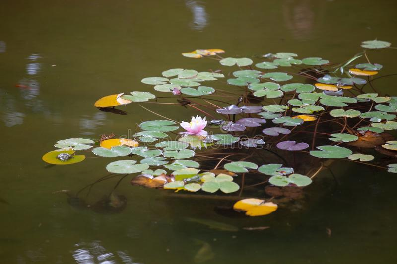 Colorful water lilies in the city pond royalty free stock images