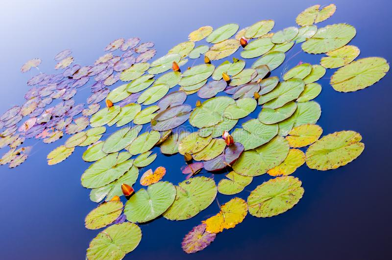 Colorful Water Lilies flowers and leafs surrounded by blue waters stock image