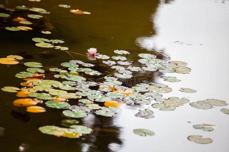 Colorful water lilies in the pond. In the Crimea royalty free stock photo