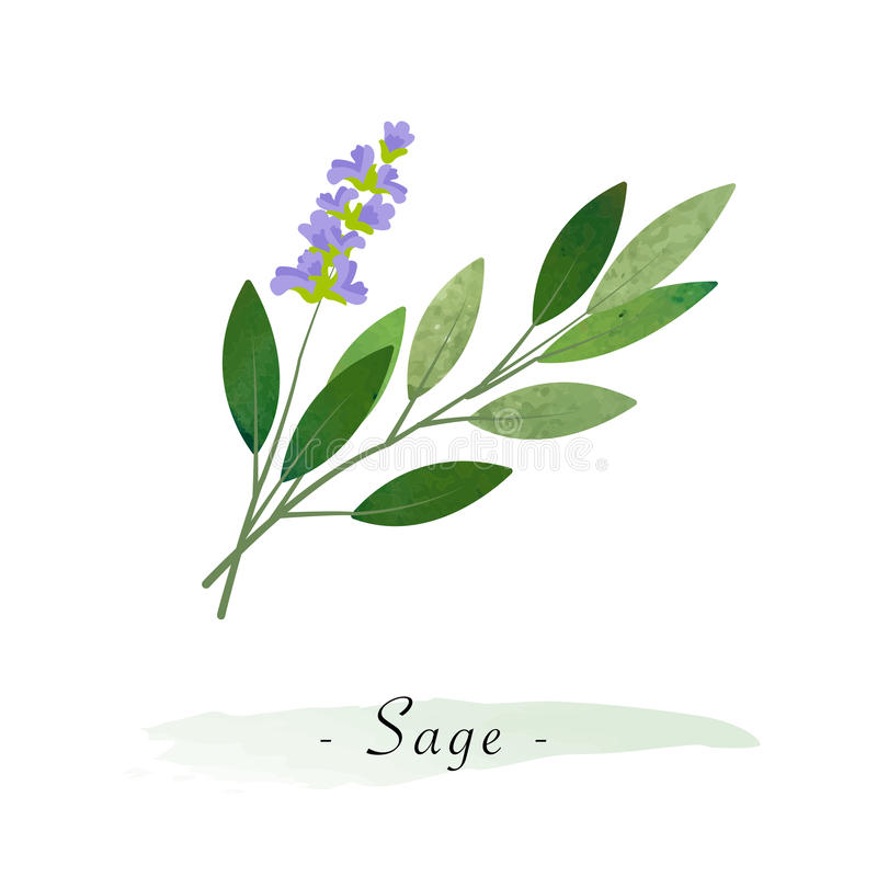 A Colorful watercolor texture vector healthy vegetable sage. Colorful watercolor texture vector healthy vegetable sage stock illustration