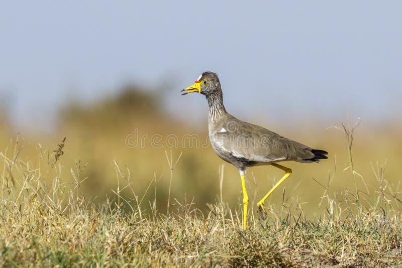 Colorful Wattled lapwing walking on the savanna stock photo