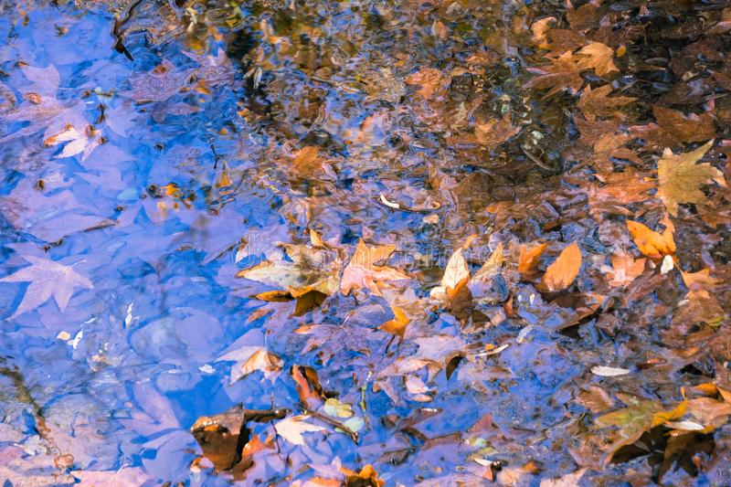 Colorful western sycamore leaves cover the surface of a creek, Sunol Regional Wilderness, San Francisco bay area, California royalty free stock photo