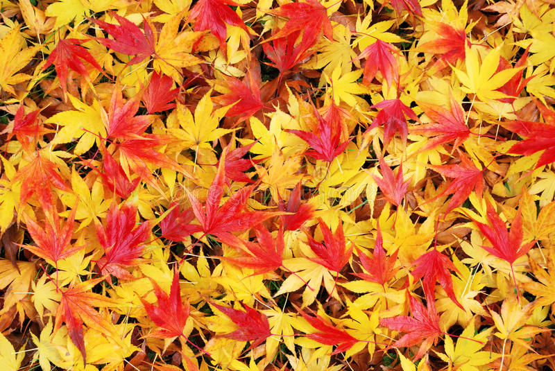 Colorful and wet fallen japanese maple leaves in autumn stock photo