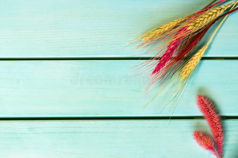 Colorful wheat spike on blue wooden background, rustic background with copy space. Closeup photo of colorful wheat spike on blue wooden background, rustic royalty free stock images