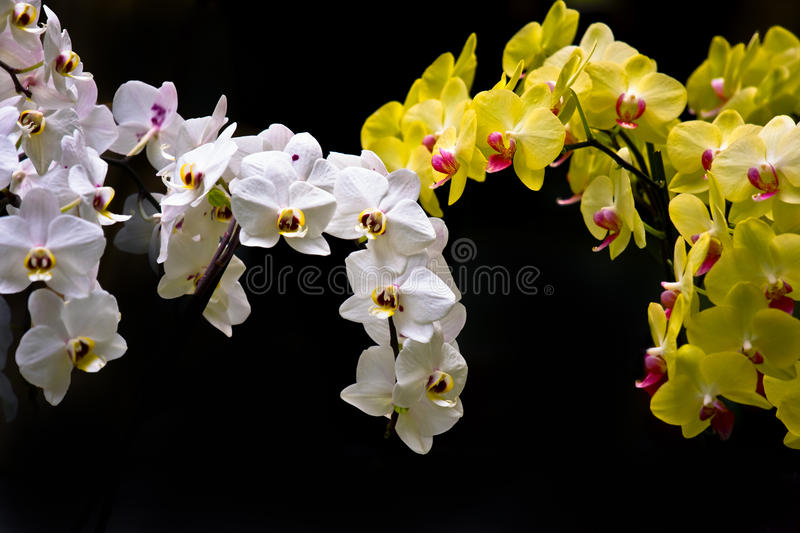 Download Colorful White And Yellow Orchids Stock Image - Image of fragility, passion: 14857379
