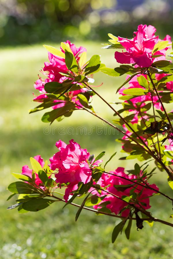 pink flowered bush in the sun royalty free stock image